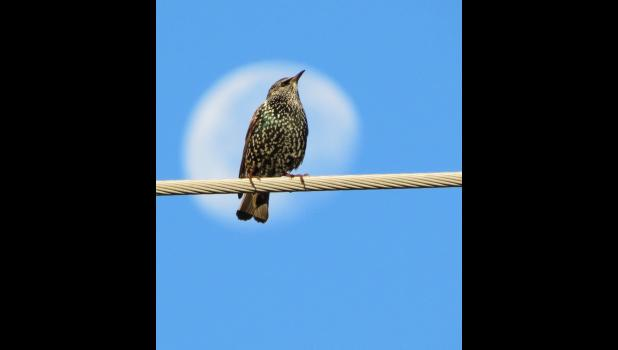 The moon...and a starling...in the morning. The moon, shining in the morning, served as a backdrop for a starling on a utility wire.