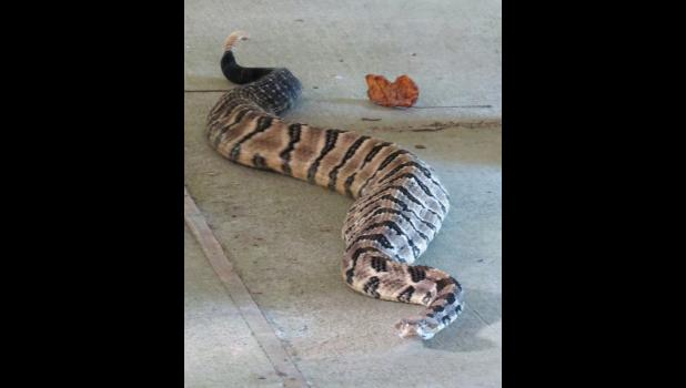 A timber rattlesnake checked out the world around it during a recent presentation about reptiles at an event which was held in Union County.