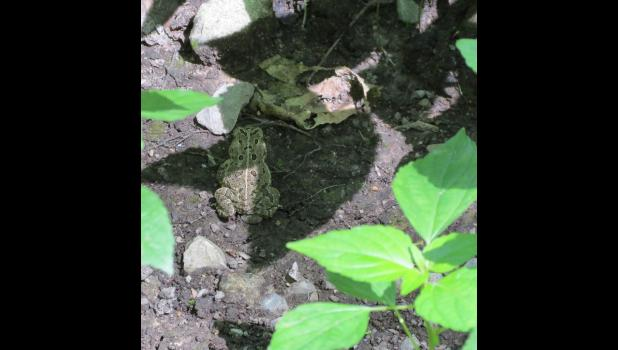 A toad...by the road...in a shadow...among plants and fallen leaves.