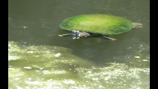 "Something in the ""that seems a little bit odd category"": spotted this turtle swimming around in a pond. It might be kind of hard to tell, but the turtle's shell appeared to be covered with a fashionable green fur coat. Twelve seconds of research on the internet (so, once again, it must be true), led to information on a website called allturtles.com (really) which shared: ""Algae growing on a turtle shell is normal. In fact most wild turtles have some algae growing on their carapace."""