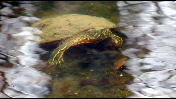 Frozen in time? This turtle was seen in the water at the pond at the Lincoln Memorial Picnic Grounds in Jonesboro on the final day of 2020.