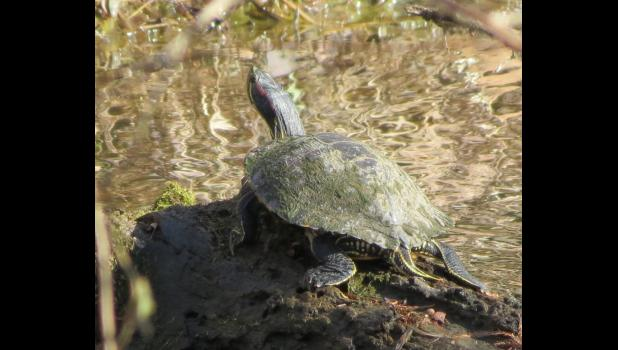 A turtle was basking in the sunshine in a local pond: Unexpected? In May or June, not so much. On a chilly morning in February...yes.