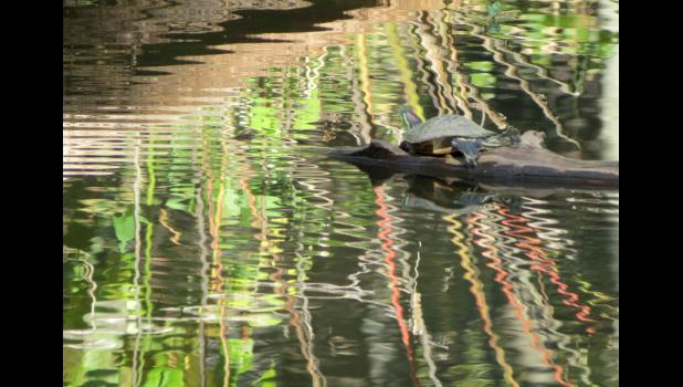 While wandering around on a recent sunny, autumn afternoon, I happened to notice this image of a turtle enjoying the day at a local pond.