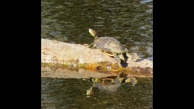 I know...you're probably tired of seeing pictures of turtles. Just didn't expect to see one lounging on a log in the sunshine on the 19th day of November. Maybe this will be the last picture of a turtle for 2020...or not...