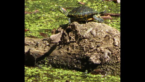A tiny turtle...basking in the late summer sun...