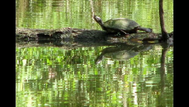 A turtle was basking in the late summer sunshine; the critter was on a log in the pond at the Lincoln Memorial Picnic Grounds in Jonesboro.