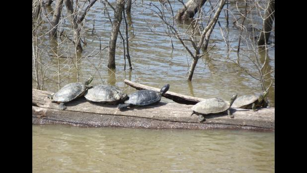 Turtles...of course we had to have a photograph of turtles. These turtles were sunning themselves on a log in the Big Muddy River last Sunday afternoon.