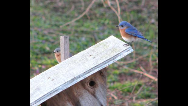 Bluebirds of happiness? Hope they were happy with the abode they found on our little patch of ground. We like to have bluebirds, and lots of other birds, around.