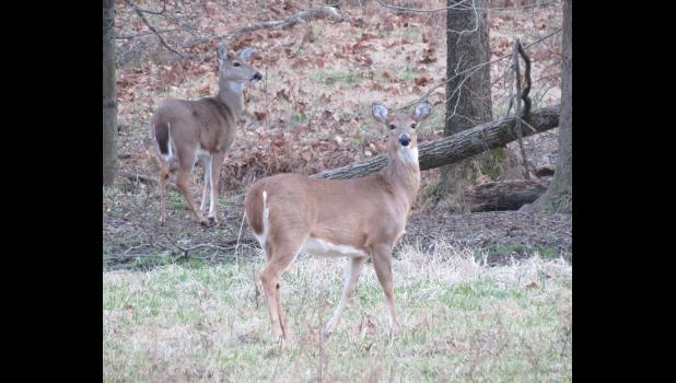 The white-tailed deer on the left seemed to be striking a pose to be admired, while the other critter was keeping an eye on the photographer.