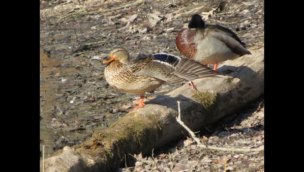 A pair of mallard ducks taking a nap in the afternoon sunshine: Unexpected? Not so much. The female spreading her wings, just in time for a photograph...now that was unexpected.