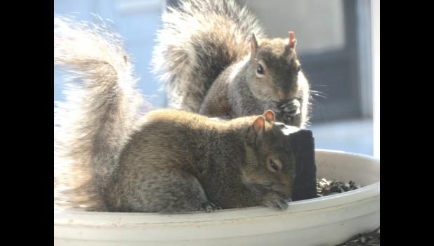 Prelude: this photograph has absolutely nothing to do with appliances. With that in mind...a pair of squirrels appeared to be working on breakfast last Saturday morning at a feeder which is on top of some shelves which are on our front porch. Not a slice of toast was to be seen. Do squirrels even like toast? A  moment after the photograph was taken, the squirrel on the top shoved the other critter out of the feeder. The banished squirrel fell about three or feet, went to the edge of the porch, appeared to s