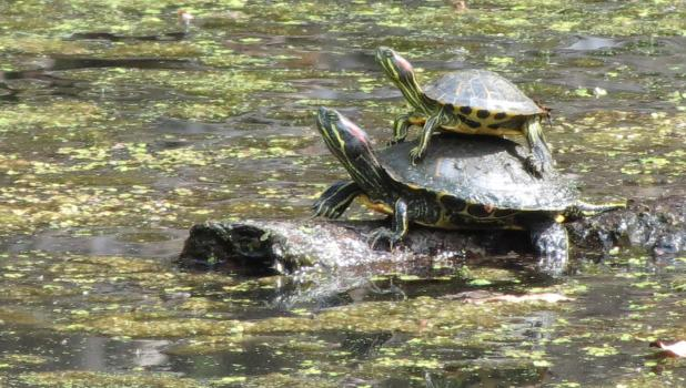 No...these are not fossils. Just thought you might like the picture... The two turtles were spotted enjoying the sunshine together on a recent sunny October afternoon at a pond in Union County.