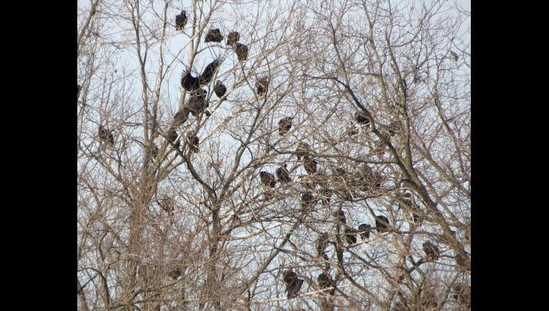 Just in time for the holiday season, trees not far from the Union County Courthouse in Jonesboro were decorated with vultures. The image was captured one afternoon last week.