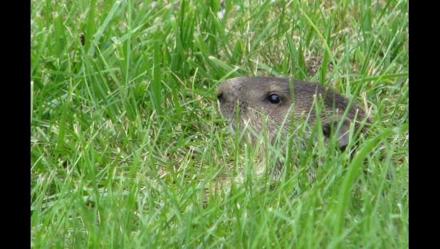 June 22: A woodchuck, AKA a groundhog, peeked through some grass, and then disappeared.