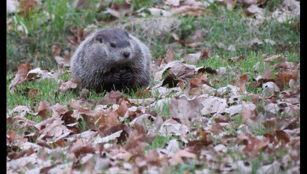 How many leaves could a woodchuck chuck, if a woodchuck could chuck leaves? The answer is 14. I watched the critter chuck 14 leaves right after this picture was taken one morning last week in Cobden.
