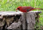 """A cardinal appeared to munching on a snail hors d'oeuvre one evening. By the way, have you ever wondered why """"hors d'oeuvre"""" is pronounced """"or derv""""?"""