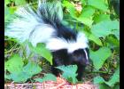 """Isn't it cute? A skunk paid a visit to our little corner of the world a few years ago. Truth be told, they are kind of cute... This, by the way, is what we refer to as a """"file photo."""" The photographer would like to think that he has more """"old-fashioned"""" common sense than to go out in the dark looking for a skunk...read on to find out what we're talking about..."""